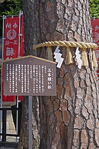 三盆願い松の写真